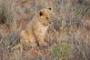 Lion_Cubs_Tswalu_2016_0016