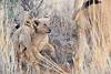 Lion_Cubs_Tswalu_2016_0010