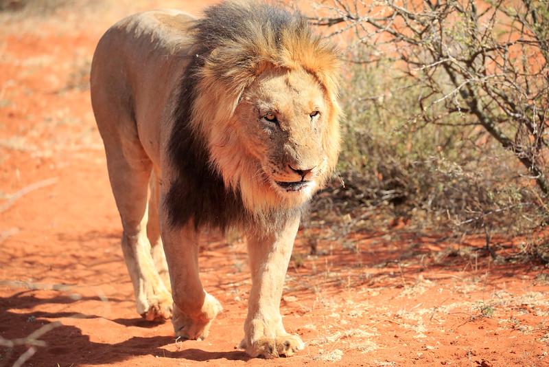 Lion_Male_Tswalu_2016_0001