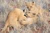 Lion_Cubs_Tswalu_2016_0019