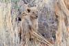 Lion_Cubs_Tswalu_2016_0009