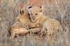 Lion_Cubs_Tswalu_2016_0011