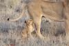 Lion_Cubs_Tswalu_2016_0005