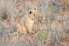 Lion_Cubs_Tswalu_2016_0015
