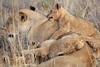 Lion_Cubs_Tswalu_2016_0022