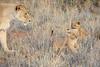 Lion_Cubs_Tswalu_2016_0002