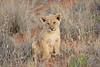 Lion_Cubs_Tswalu_2016_0020