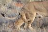 Lion_Cubs_Tswalu_2016_0007