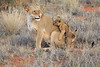 Lion_Cubs_Tswalu_2016_0029