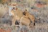 Lion_Cubs_Tswalu_2016_0031