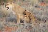 Lion_Cubs_Tswalu_2016_0027