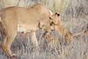 Lion_Cubs_Tswalu_2016_0044