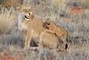 Lion_Cubs_Tswalu_2016_0033