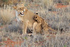 Lion_Cubs_Tswalu_2016_0028