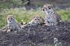 Cheetah_Family_Phinda_2016_0102