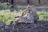 Cheetah_Family_Phinda_2016_0111