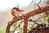 Pygmy_Falcon_With_Food_Tswalu_2016_0041