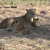 Lion cubs of MalaMala