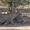 Leopard sex at Mala Mala