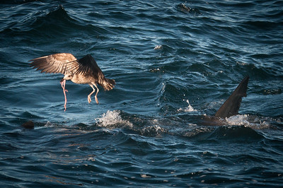 Bird sharing a great white shark's meal of a seal