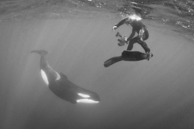 Killer Whale and snorkeler