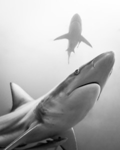 Black Tip Sharks