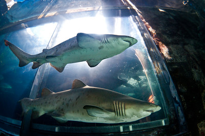 Ragged Tooth sharks in the Predator Exhibit at the Two Oceans Aquarium, Cape Town