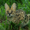 Serval - Greater Kruger by Tracey Jennings