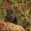 Common dwarf mongoose - Greater Kruger by Tracey Jennings