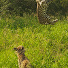 Kungfu Leopard - Greater Kruger by Tracey Jennings