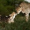 Cheetah kiss - Greater Kruger by Tracey Jennings
