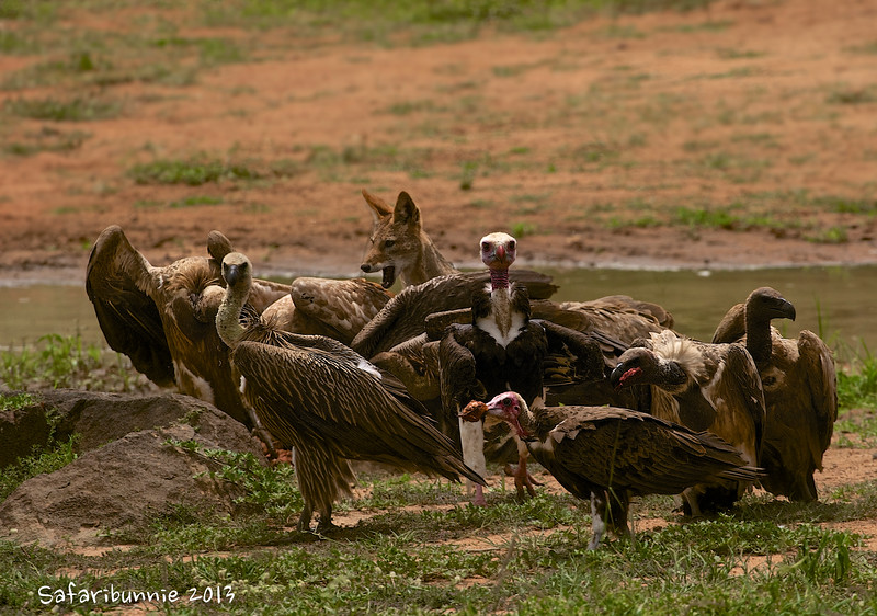 African equivalent of 'cat amongst the pigeons' - Greater Kruger  by Tracey Jennings