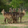 Waterbuck - Greater Kruger by Tracey Jennings