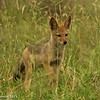 Jackal pup - Greater Kruger by Tracey Jennings
