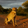 Cheetah bathed in golden light - Greater Kruger by Tracey Jennings