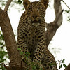 Leopard cub - Greater Kruger by Tracey Jennings