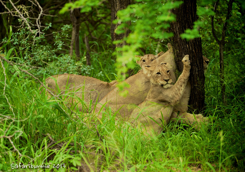 Lion family - Greater Kruger by Tracey Jennings