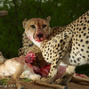 Cheetah on an Impala Kill - Greater Kruger by Tracey Jennings