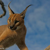 Caracal - Greater Kruger by Tracey Jennings