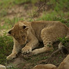 Lion cubs - Greater Kruger by Tracey Jennings