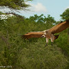 Cape Vulture coming into land