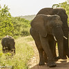 Elephants - Greater Kruger by Tracey Jennings