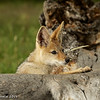 Baby jackal - Greater Kruger by Tracey Jennings