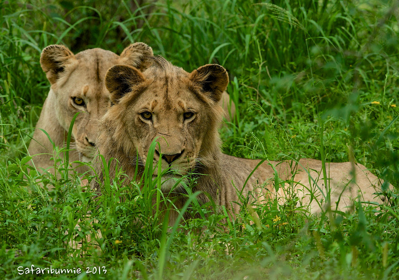 Lions - Greater Kruger by Tracey Jennings