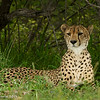Regal cheetah - Greater Kruger by Tracey Jennings