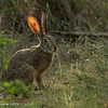 Scrub Hare - Greater Kruger by Tracey Jennings