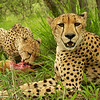 Cheetah kill - Greater Kruger by Tracey Jennings