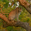 Leopard in golden light - Greater Kruger by Tracey Jennings