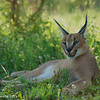 Caracal bathed in sunlight - Greater Kruger by Tracey Jennings