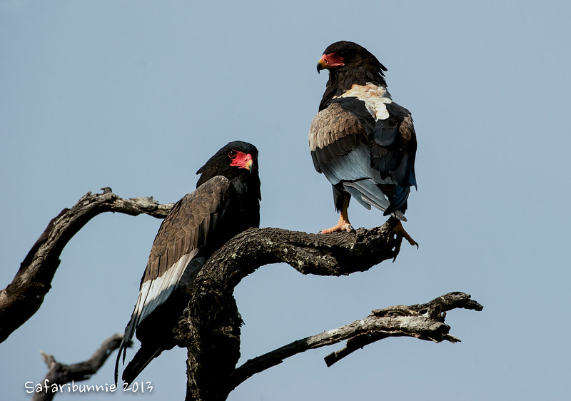 Bateleur eagle - Greater Kruger by Tracey Jennings